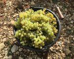 druiven2.jpg