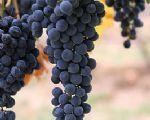266px-Wine_grapes03.jpg